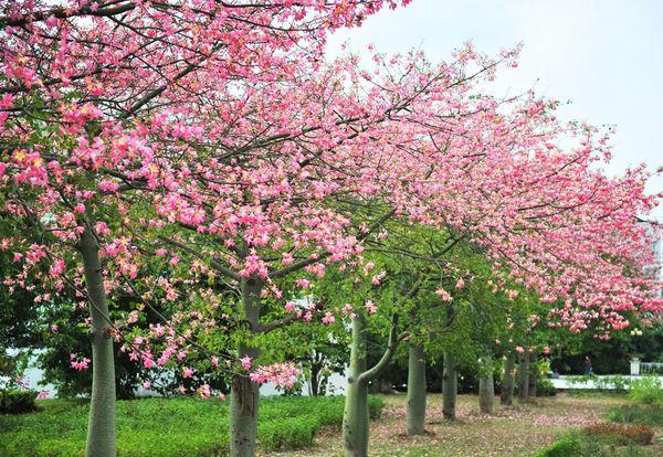 供应木棉苗2CM至16CM木棉树 广西美丽木棉