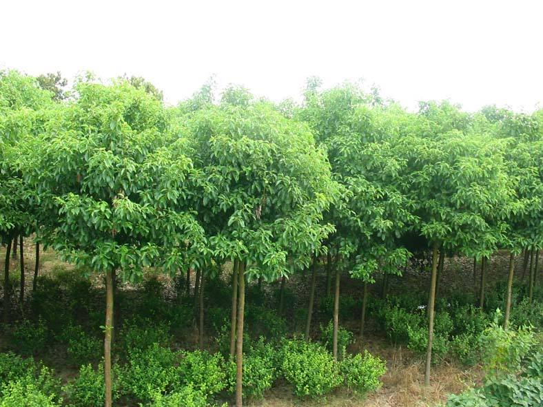 供应香樟苗和芳樟苗 玉林樟木苗和香樟基地