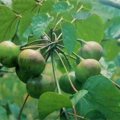 供应桐油树和油桐树专版  广西千年桐树产业园