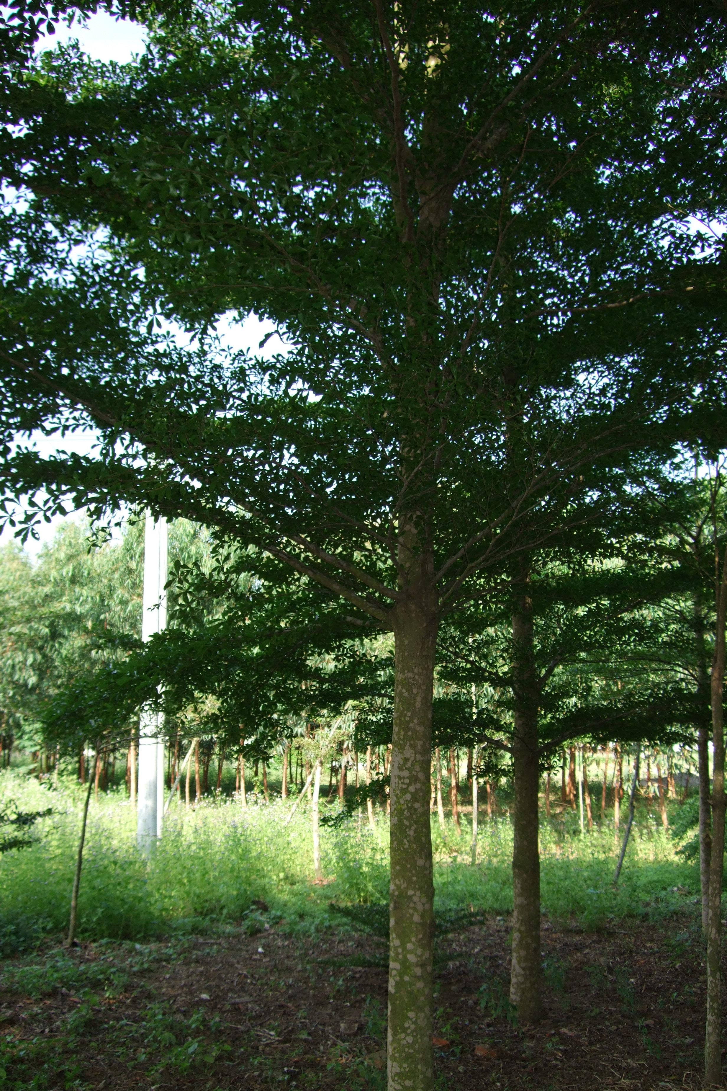 供应小叶榄仁和广西盆架子和桃花芯木园艺场