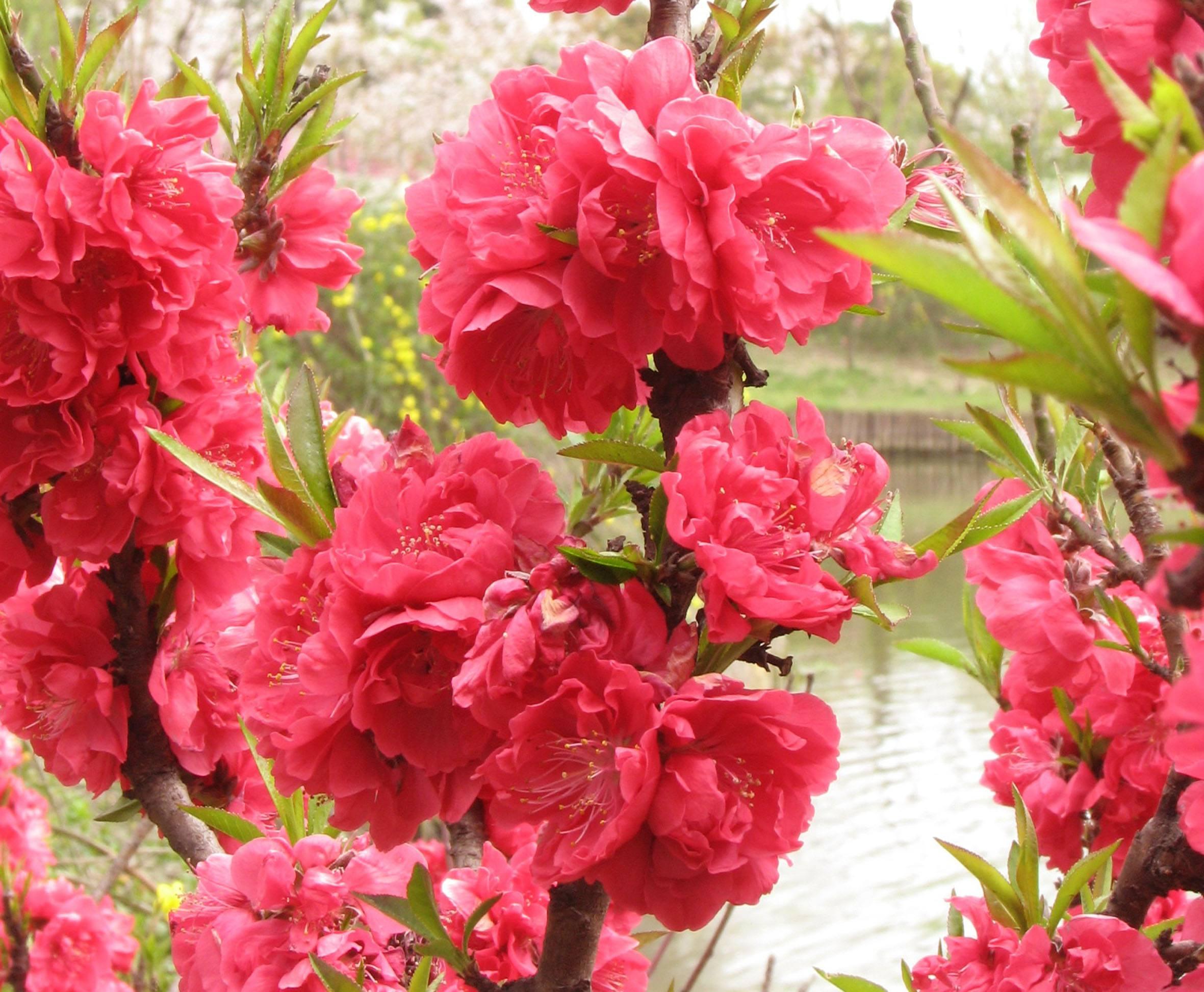供应桃花苗和茶花树苗和广西桃花树花木基地