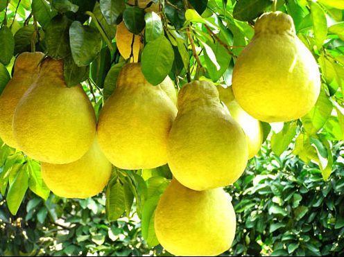 供应沙田柚树和柚子树 玉林芒果树和山竹树果树站